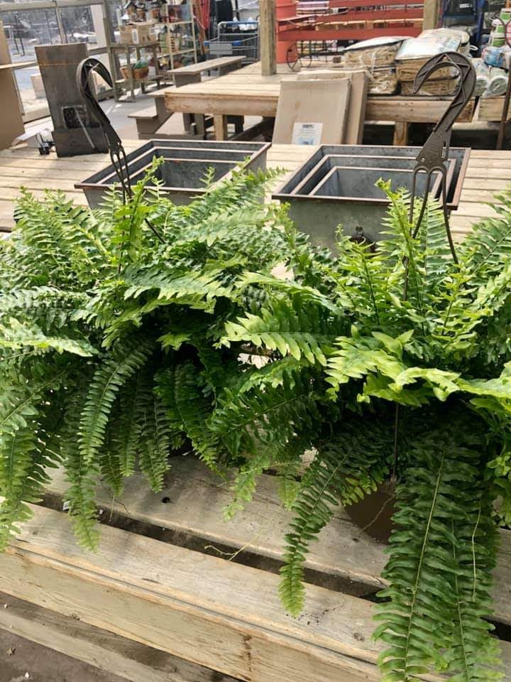 Boston Fern Hanging Basket $19.99