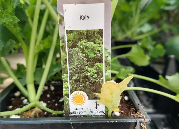 Kale (6 pack)