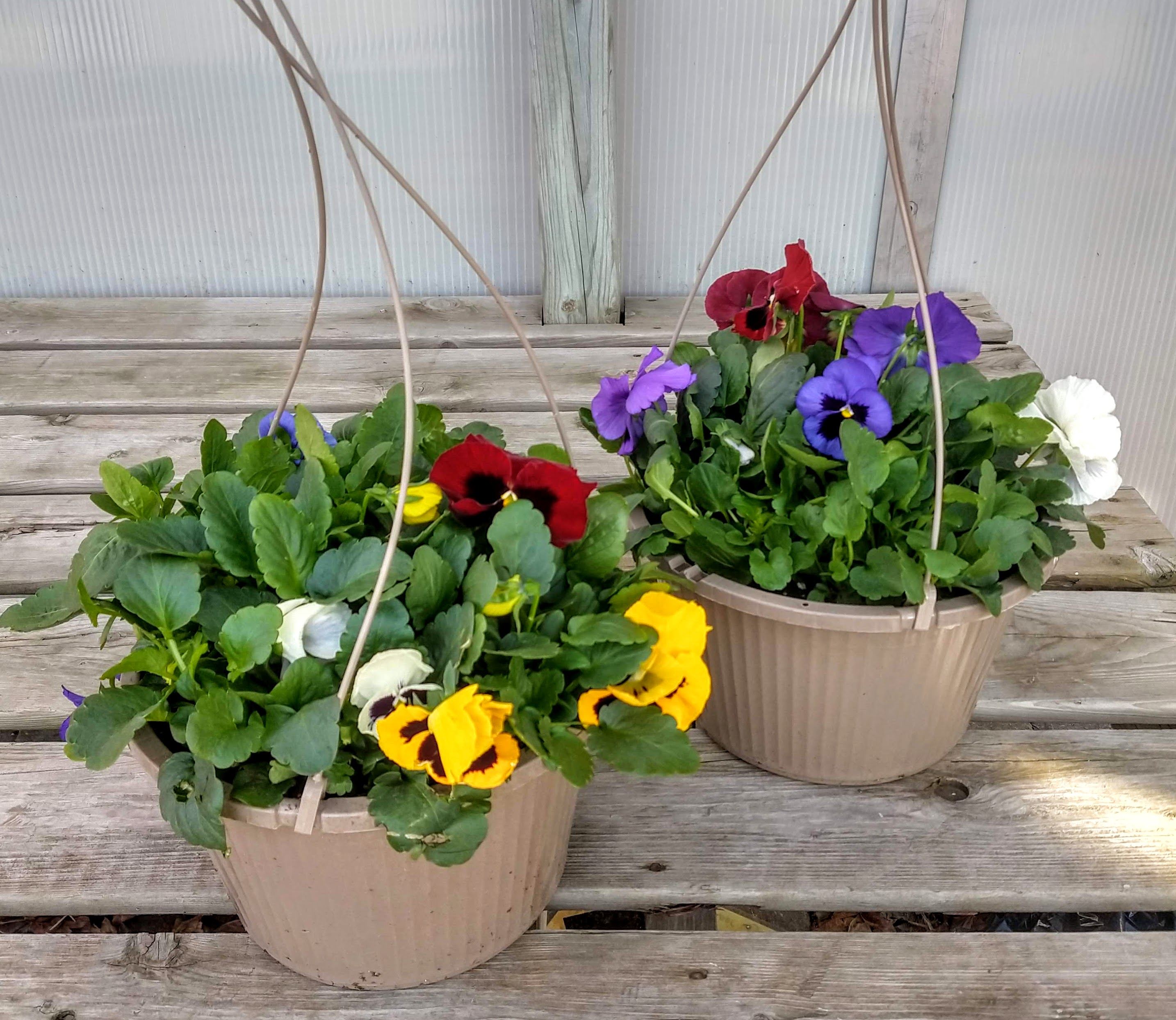 "10"" Pansy Hanging Baskets $12.99"