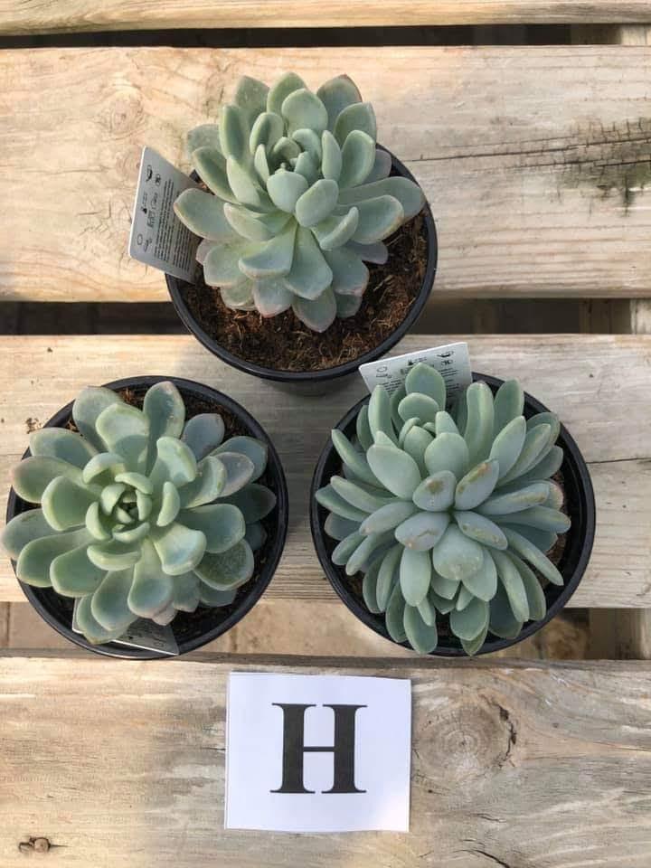 Succulents, H - $5.99
