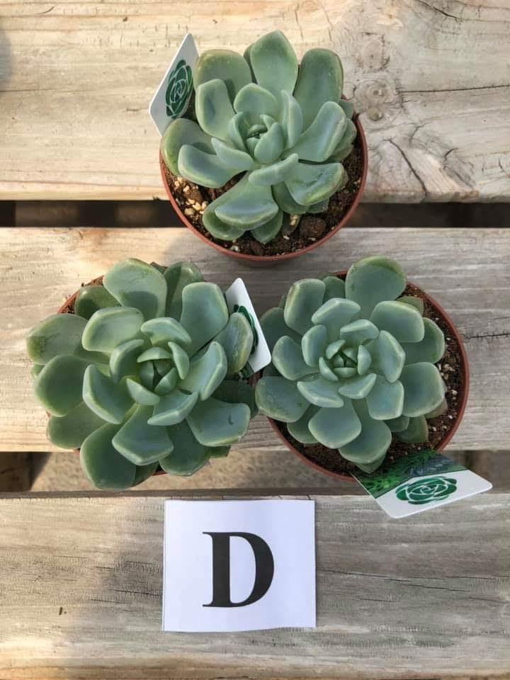 Succulents, D - $5.99