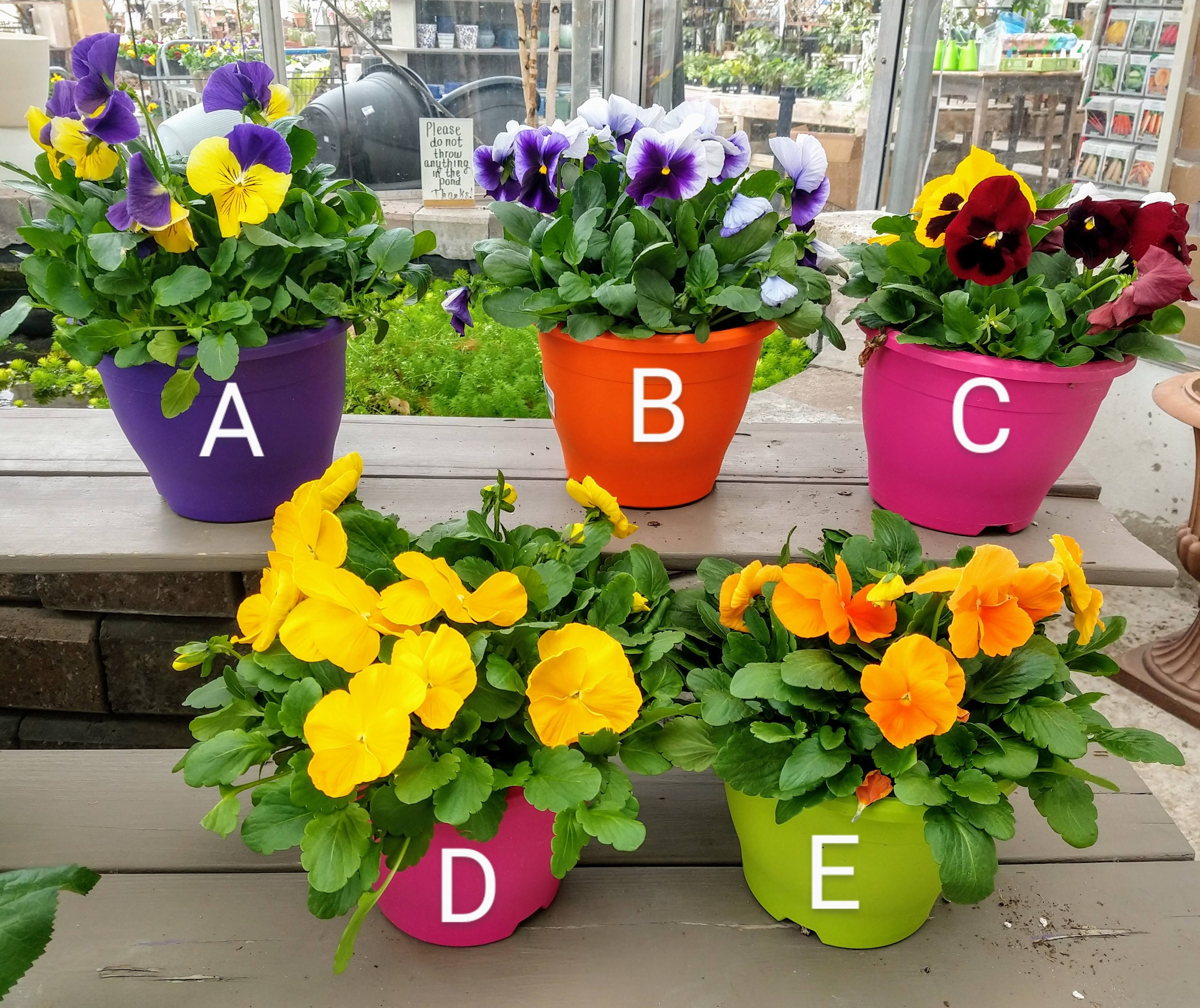 "8"" Pansy Colour Pots $8.99"