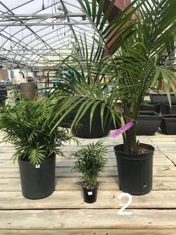 Assorted Palms
