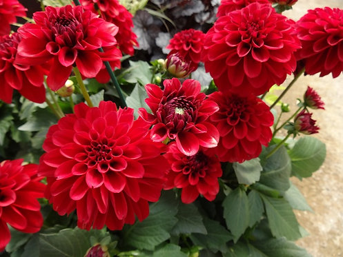 Red Dahlia Root
