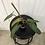 Thumbnail: Philodendron Atabapoense #2149