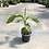 Thumbnail: Musa Basjoo (Hardy banana)