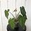 Thumbnail: Philodendron Sodiroi Aff #2079