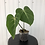 Thumbnail: Philodendron Gloriosum #2014