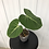 Thumbnail: Philodendron Gloriosum #2012
