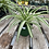 Thumbnail: Spider Plant