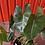 Thumbnail: Philodendron Burle Marx
