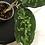 Thumbnail: Aglaonema Pictum Tricolor #2127