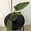 Thumbnail: Philodendron Subhastatum Variegata #2150