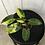 Thumbnail: Philodendron Burle Marx Variegata #2108