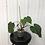 Thumbnail: Philodendron Sodiroi Aff #2083