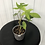 Thumbnail: Philodendron Florida Ghost #2119