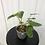 Thumbnail: Philodendron Burle Marx Variegata #2100