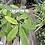 Thumbnail: Braided Pachira (Money Plant)