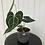 Thumbnail: Anthurium Clarinervium #2022
