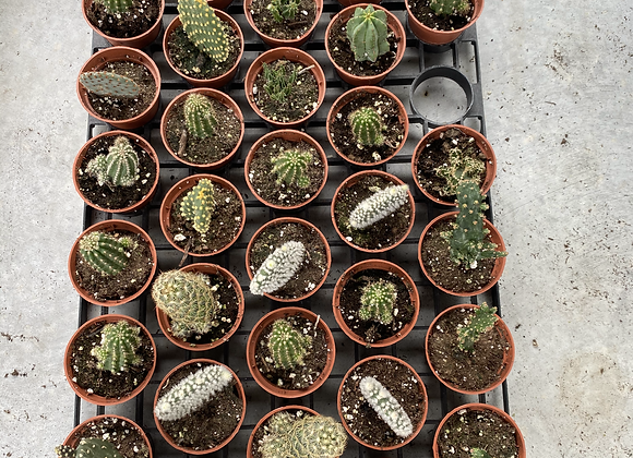 Assorted Mini Cacti