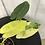 Thumbnail: Philodendron Burle Marx Variegata #2111