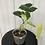 Thumbnail: Philodendron Burle Marx Variegata #2102