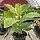 Thumbnail: Ficus Altissima