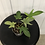 Thumbnail: Philodendron Florida Ghost #2120