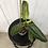 Thumbnail: Philodendron Subhastatum Variegata #2198
