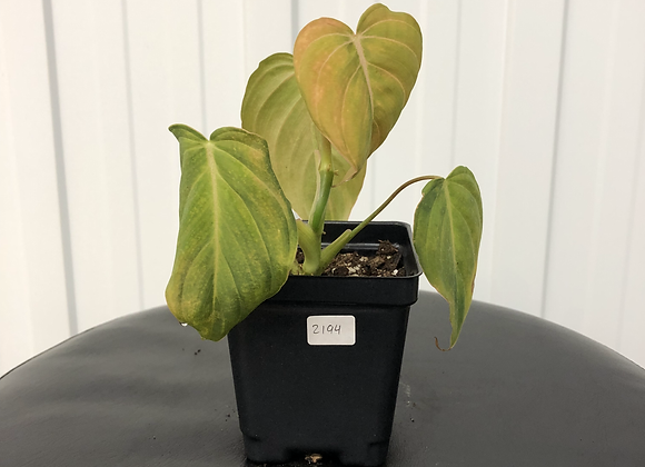 Philodendron Glorious #2194