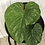 Thumbnail: Philodendron Mamei #2061