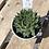 Thumbnail: Succulent