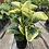 Thumbnail: Peperomia Obtusifolia Marble