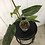 Thumbnail: Philodendron Subhastatum Variegata #2085