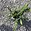 Thumbnail: Orchid Cactus