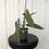 Thumbnail: Philodendron Atabapoense #2161