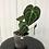 Thumbnail: Anthurium Clarinervium #2028