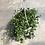 Thumbnail: Muehlenbeckia Big Leaf