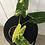 Thumbnail: Philodendron Burle Marx Variegata #2110