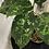 Thumbnail: Aglaonema Pictum Tricolor #2125