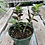 Thumbnail: Jade Plant