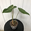 Thumbnail: Philodendron Gloriosum #2013