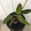 Thumbnail: Philodendron Subhastatum Variegata #2084