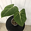Thumbnail: Philodendron Gloriosum #2015