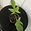 Thumbnail: Philodendron Florida Ghost #2121