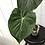 Thumbnail: Philodendron Pastazanum #2039