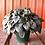 Thumbnail: Peperomia Frost