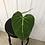 Thumbnail: Philodendron Gloriosum #2018