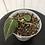 Thumbnail: Philodendron Melanochrysum #2066