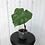Thumbnail: Philodendron Pastazanum #2040